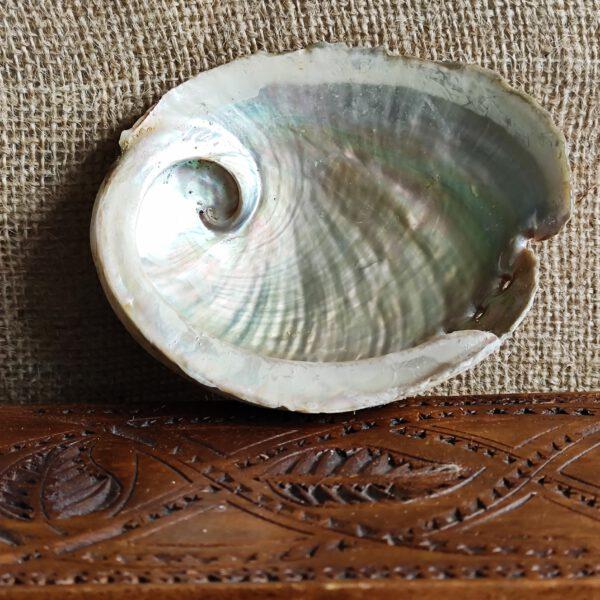 Abalone haliotis diversicolor S